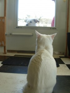 In January, 2013, Iago the cat had never seen a dog.